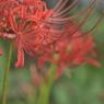 NIKON NIKON D700で撮影した植物(彼岸花)の写真(画像)