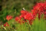 秋に舞う蝶
