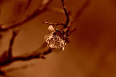 散りゆく梅の花