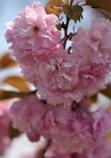 八重桜その2