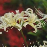 NIKON NIKON D700で撮影した植物(白、赤と緑)の写真(画像)