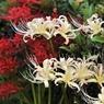 NIKON NIKON D700で撮影した植物(白VS赤)の写真(画像)