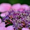 紫陽花、クローズアップ!