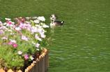 鴨とコスモス