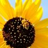 必死で働くミツバチ
