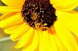 働くミツバチその3