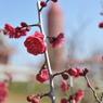 NIKON NIKON D700で撮影した植物(紅梅)の写真(画像)