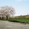 河原の桜②