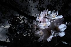 桜に 光りを2