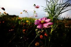秋に咲く花 コスモス
