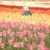 チューリップ畑の思い出