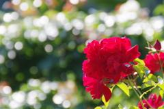 東沢バラ公園のバラ