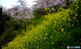 桜:「春の主役は菜の花さんっすねー」 菜の花:「いやいや、やっぱ桜さんっすよ」
