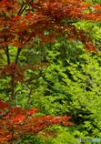 紅葉の季節ですねー。 え!?今梅雨っすよ??