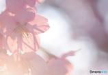 「あそこの桜はキレイよ~!」 はい、どこのもキレイっす。