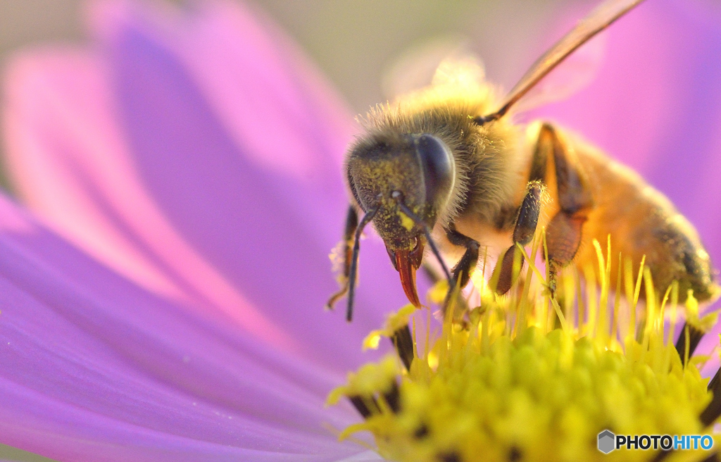 コスモスがハチってるのかハチがコスモスってるのか悩む。