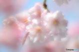 花見したぁ~い♡