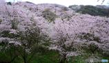 遠くの桜も近くまで行けば近くの桜。