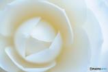 川柳:白い花 あぁ白い花 白い花
