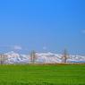 NIKON NIKON D90で撮影した(美瑛にて~ 「三兄弟の木」)の写真(画像)