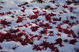 雪ともみじと夕日のコラボ