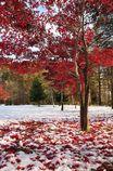 美瑛町は早くも雪・・・・雪上の紅葉と落ち葉