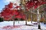雪上の紅葉と白樺
