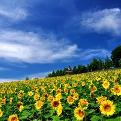 NIKON NIKON D90で撮影した風景(富良野にて 「ひまわりの丘」)の写真(画像)