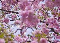 sakura_枝垂れ桜