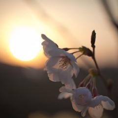若桜の吐息