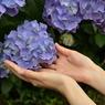 紫陽花の花と手のひら