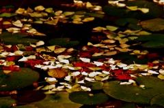 銀杏とモミジと蓮の葉と