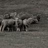 NZ 羊天国