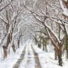 雪桜並木道 -yukizakura namikimiti-