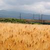 麦畑を通過中~♪