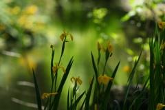 黄色花ショウブ