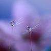 桃の花雫三姉妹
