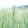 雨上がりの麦畑