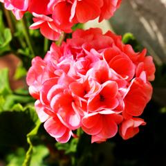 庭の花 Ⅲ
