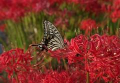 彼岸花と蝶4