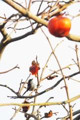 柿とエナガ