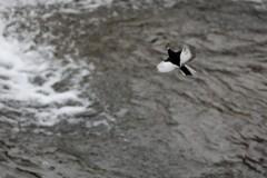 雨の日の鶺鴒飛翔