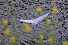 白鷺と菜の花