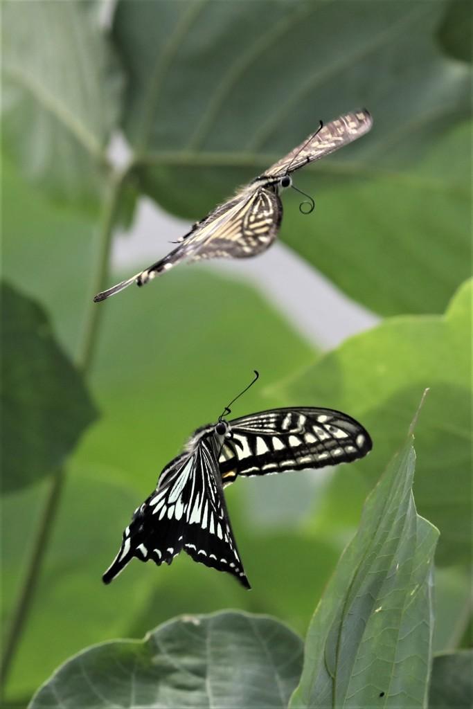 チョウの舞1