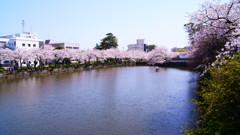 小田原城址公園の桜