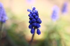 青い粒みたいな花F1.8接写