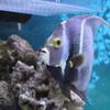 フレンチエンゼル(in my aquarium)