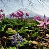 ニセコの春