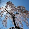 桜と生きる