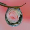 春薔薇の泪